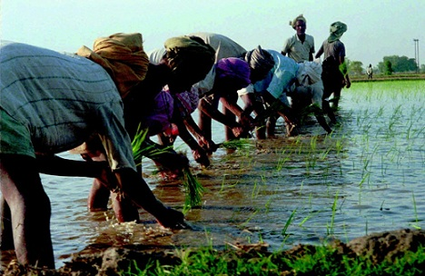 Sowing of rice