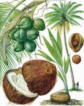 Coconut 8